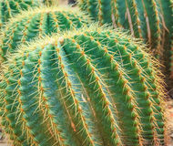 Close up shot of a big cactus called Cactaea. This big cactus is called Cactaea. This cactus is bigger than a basket ball Royalty Free Stock Image