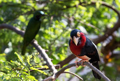 Close up shot of a bird with red and black colours. Close up shot of a bird stock photo