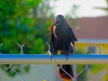 Fierce black bird screaming on a fence. Close-up shot of a black bird with open beak screaming noisily as it sits on a chain link fence stock image