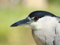 Close-up shot of a black crowned night Heron royalty free stock images