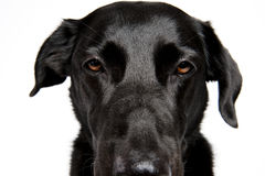 Close-Up Shot of a black Labrador Royalty Free Stock Photography