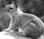 Black and white close up of a gray squirrel with a bushy tail stock photos