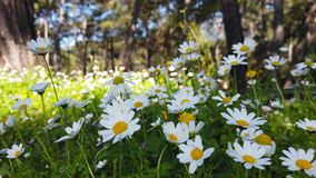 Enchanting Spring - Daisies and Dandelion in the Forest 19. A close up shot of blooming white daisies and yellow dandelion flowers in the enchanting spring stock video footage
