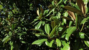 Close up shot of brightly green plants, evergreen large leaves are in the sun. Close up shot of a tree or shrub with green leaves, the plant is in the sun in stock video