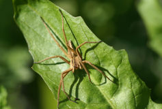 Close up shot of brown spider Royalty Free Stock Photos