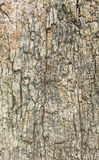 Close up shot of brown tree bark  Texture . Royalty Free Stock Photography