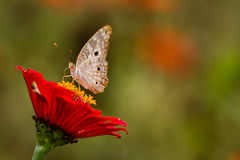 Close up shot of butterfly on rainforest flower Royalty Free Stock Photos