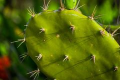 Close Up Shot of Cactus Leaves royalty free stock photography
