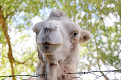 Close up shot of a camel Royalty Free Stock Photo