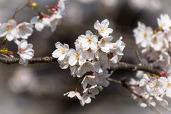 Close up shot of beautiful cherry blossom flowers of Japan during day time in spring. stock image