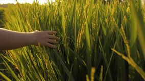Close up shot of child hand touching green grass of rice field