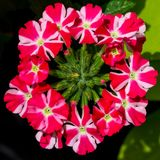 Estrella Voodoo Star Verbena in the Sunlight. Close-up shot of the circular bloom of this Christmas colored flower Royalty Free Stock Image