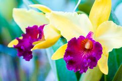 Close up shot on colorful Cattleya Orchids Royalty Free Stock Photo