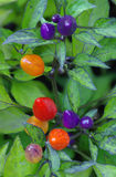 Close-up shot of colorful small pepper plant Royalty Free Stock Photography
