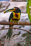 Pale-mandibled Aracari Stock Photography