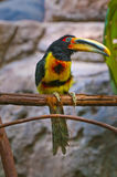 Pale-mandibled Aracari Royalty Free Stock Photos