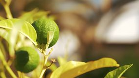 Tree with lime fruit in sun light. Close-up shot of coming to the tree branch with growing lime fruit, view in sun light stock video