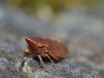Close up shot of a common froghopper Philaenus spumarius, photo taken in the UK stock image