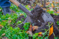 A close-up shot of a covered in a dirt shovel. A close-up shot of a covered in a dirt shovel while digging up a garden bed in autumn with some orange fallen Stock Photos