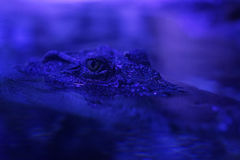 A close-up shot of a crocodile Stock Image