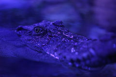 A close-up shot of a crocodile Stock Photo