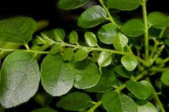 Curry leaves on black background stock photography