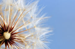 Close up shot of dandelion with soft focus Royalty Free Stock Photos