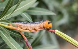 Close up shot of a Daphnis nerii pre pupal stage caterpillar on a oleander Royalty Free Stock Photography