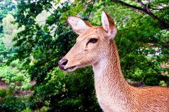 Close up shot of deer head. Close up shot of young deer head royalty free stock photography