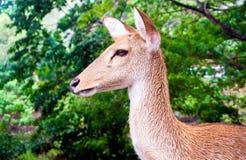Close up shot of deer head. Close up shot of young deer head stock images