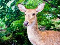 Close up shot of deer head. Close up shot of young deer head stock photo