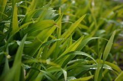 Close-up shot of dense grassy stems with dew drops. Macro shot of wet grass as background image for nature concep. T royalty free stock photos