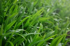 Close-up shot of dense grassy stems with dew drops. Macro shot of wet grass as background image for nature concep. T stock photos