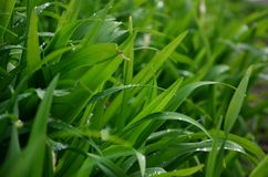 Close-up shot of dense grassy stems with dew drops. Macro shot of wet grass as background image for nature concep. T royalty free stock photography