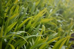 Close-up shot of dense grassy stems with dew drops. Macro shot of wet grass as background image for nature concep. T royalty free stock image