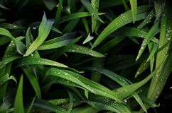 Close-up shot of dense grassy stems with dew drops. Macro shot of wet grass as background image for nature concep. T royalty free stock photo