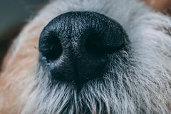 Close up shot of dog nose. stock image