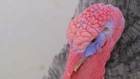Close up shot of domestic turkey. In contact zoo stock footage