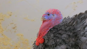 Close up shot of domestic turkey. In contact zoo stock video