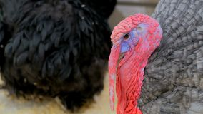 Close up shot of domestic turkey. In contact zoo Stock Photos