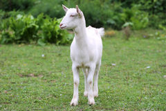 Close up  shot of a domestic young goat Royalty Free Stock Photos