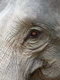 Close up shot of elephant`s eye with parts of head, ear, neck, and trunk with natural wrinkled texture stock images