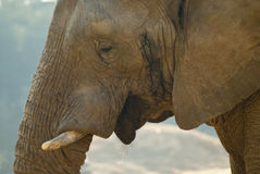 Close-up shot of an elephant's face Stock Photography