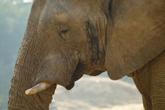 Close-up shot of an elephant's face Stock Photos