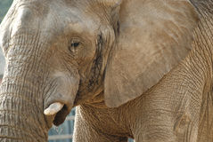 Close-up shot of an elephant's face Stock Images