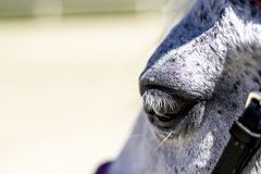 A close up shot of the eye of an white horse.  Stock Image