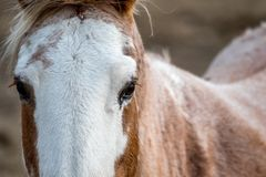 Close up of the eyes of a horse looking at the camera Royalty Free Stock Photo