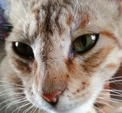 Portrait of domestic cat. Close up shot of face of  cat looking at camera Stock Photography