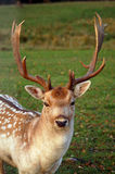 Close-up shot of the fallow deer. In Latvia Stock Photo