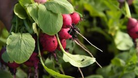 Harvest of radish. Close-up shot of a farmer gathering harvest of radish in vegetable garden. Organic food, farming and agriculture stock footage